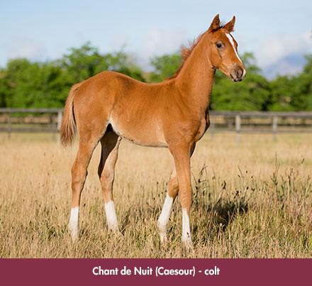 wylie_foal-chantdenuit_chev