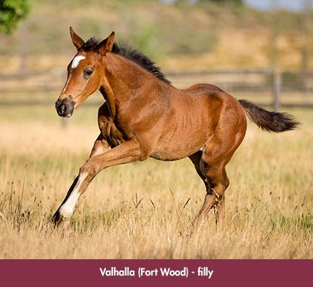 wylie_foal-valhalla_chev