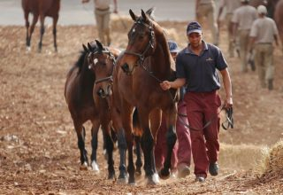 Snowdance breeders offer five quality lots at KZN sale